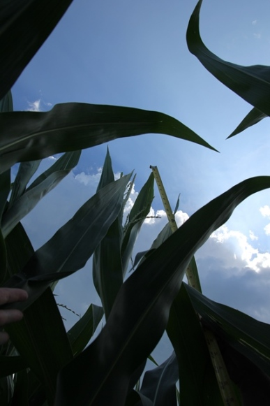 The corn is as high as an elephants eye...or 9 feet