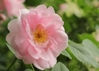 Minnesota Landscape Arboretum Rose Garden